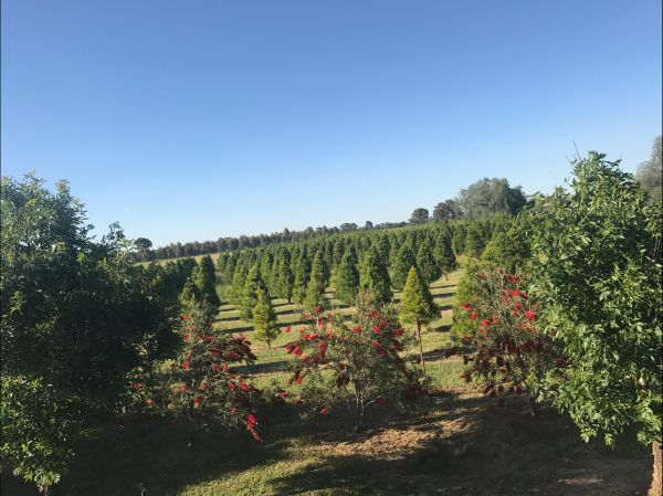 Rutherglen Christmas Trees Farm Stay - Accommodation Brunswick Heads