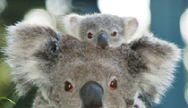 Billabong Koala and Wildlife Park - Accommodation Brunswick Heads