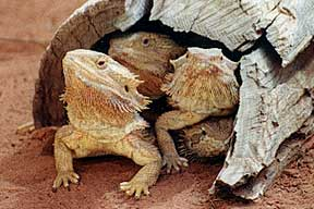 Alice Springs Reptile Centre - Accommodation Brunswick Heads