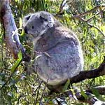 Koala Conservation Centre - Accommodation Brunswick Heads