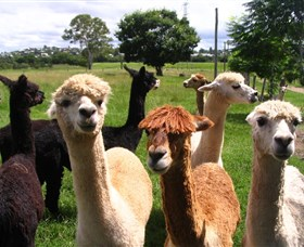 Banyandah Alpacas - Accommodation Brunswick Heads