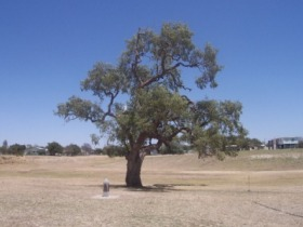 Historic Coolabah Tree - Accommodation Brunswick Heads