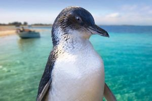 Full-Day Penguin Island  Fremantle Town - Accommodation Brunswick Heads